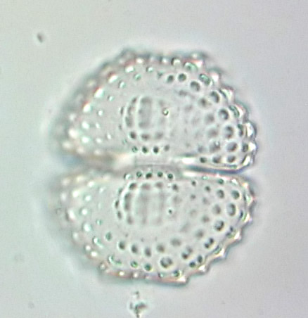 Cosmarium formosulum, empty cell
